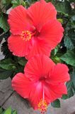 Hibiscus Flower. Hibiscus is a genus of flowering plants in the mallow family. The genus includes both annual and perennial plants as well as woody shrubs and Royalty Free Stock Image