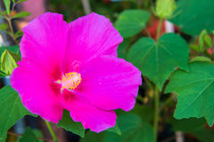 Hibiscus flower in the glass house Stock Photo