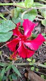 Hibiscus flower on ground, hibiscus, rose mallow. Hibiscus flower bunch of white and red colors, less widely known as rose mallow.Hibiscus is widely used in Stock Images