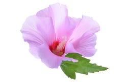 Hibiscus flower head Stock Photos