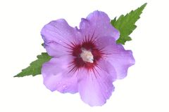 Hibiscus flower head Royalty Free Stock Photo