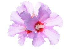 Hibiscus flower heads Royalty Free Stock Images