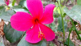 Hibiscus flower , hibiscus, rose mallow Stock Photo