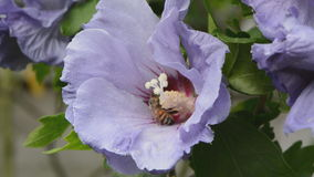 Hibiscus flower and honey bee Stock Photos
