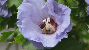 Hibiscus flower and honey bee Stock Photography
