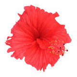 Hibiscus flower isolated on white background Stock Photography