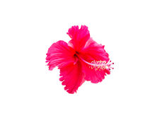 Hibiscus flower isolated Royalty Free Stock Photography