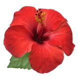 Hibiscus flower isolated on white background,with clipping path. Bright large flower of red hibiscus isolated on white background Stock Photos