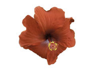 Hibiscus flower isolated on white Stock Photos