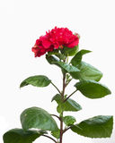 Hibiscus Flower isolated on white. Hibiscus red Flower isolated on white Royalty Free Stock Image