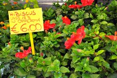 Hibiscus flower in an italian market. Hibiscus flowers on sale in a market in Florence, Italy .It is a genus of flowering plants in the mallow family, Malvaceae Stock Photos