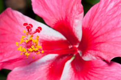Hibiscus Flower Macro Royalty Free Stock Photography