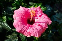 Hibiscus flower macro , blooming pink hibiscus. Hibiscus flower macro - blooming pink hibiscus - hibiscus flower macro - blooming pink hibiscus Stock Images