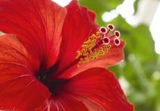 Hibiscus flower macro diagonal texture. The hibiscus flower a macro diagonal texture Royalty Free Stock Image