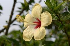 Hibiscus flower macro shot. Outdoor Royalty Free Stock Photos