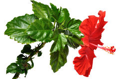 Hibiscus Flower Stock Images
