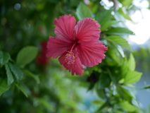Hibiscus flower on the Maldives beach royalty free stock photo