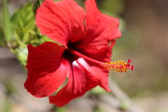 Hibiscus flower - Malvaceae. Bright scarlet red Hibiscus flower with blurred background Royalty Free Stock Photo
