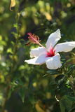 Hibiscus flower - Malvaceae. A large showy white Hibiscus flower - With a bee collecting pollen Royalty Free Stock Images