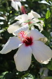 Hibiscus flower - Malvaceae. A large showy white Hibiscus flower - a member of the Mallow family -also known as rose mallow Stock Image