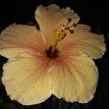 Hibiscus flower and morning dew stock photo