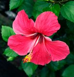 Hibiscus flower in bloom close - u p view. The hibiscus flower, while native to Asia and the Pacific Islands, is grown all over the world and comes in over 200 stock image