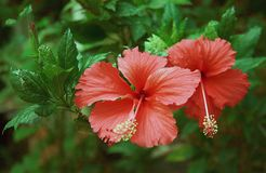 Hibiscus flower in bloom close - u p view. The hibiscus flower, while native to Asia and the Pacific Islands, is grown all over the world and comes in over 200 royalty free stock photos