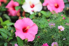 A Hibiscus flower with nature back ground. The Hibiscus flower with nature back ground stock photos