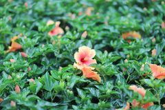 A Hibiscus flower with nature back ground. The Hibiscus flower with nature back ground stock images