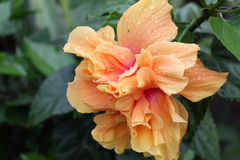 Hibiscus flower - orange flower Royalty Free Stock Images