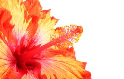 Hibiscus flower. Orange and red Hibiscus focused on the stamen isolated on white background Royalty Free Stock Photo