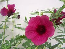 Hibiscus flower over white stock images