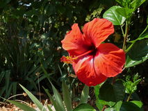 Hibiscus Flower Royalty Free Stock Photos