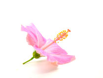 Hibiscus flower. Pink hibiscus flower isolated on white background Stock Photo
