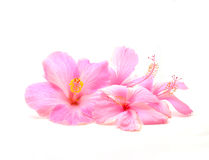 Hibiscus flower. Pink hibiscus flower isolated on white background Royalty Free Stock Image
