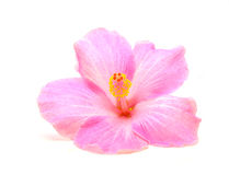Hibiscus flower. Pink hibiscus flower isolated on white background Royalty Free Stock Photos