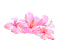 Hibiscus flower. Pink hibiscus flower isolated on white background Royalty Free Stock Images