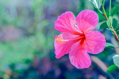The Hibiscus flower. The pink Hibiscus flower in Nature beautiful Royalty Free Stock Photos