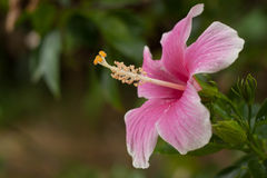 The Hibiscus Flower. / pink Hibiscus / Purple Hibiscus / Malaysia National Flower Hibiscus Stock Photos
