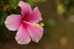 Hibiscus flower. Pink hibiscus flower on white background royalty free stock image