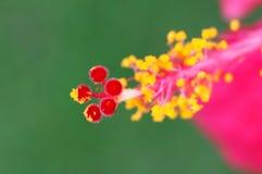 Hibiscus flower pollen. Macro Pink Hibiscus flower pollen Royalty Free Stock Photo