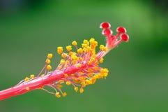 Hibiscus flower pollen. Macro Pink Hibiscus flower pollen Royalty Free Stock Photos