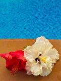 Hibiscus flower in by the pool with Royalty Free Stock Photos