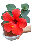 Hibiscus in flower pot Stock Photography