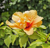 Hibiscus flower. Royalty Free Stock Photos
