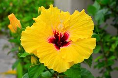 Rarotonga, Cook Islands, Hibiscus Flower Royalty Free Stock Photo