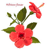 Hibiscus flower  in realistic hand-drawn style isolated on white background. Royalty Free Stock Photography