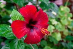 Hibiscus Flower. Royalty Free Stock Photography
