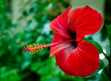 Hibiscus Flower. Stock Photo