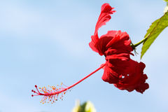 Hibiscus flower. Red hibiscus flowers growing in green garden Stock Images